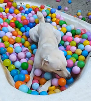 Dog in ball bath