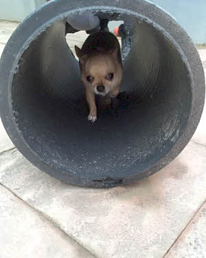 Small dog in tunnel